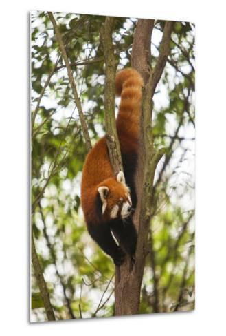 China, Chengdu, Wolong National Natural Reserve. Lesser Panda in Tree-Jaynes Gallery-Metal Print