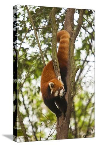 China, Chengdu, Wolong National Natural Reserve. Lesser Panda in Tree-Jaynes Gallery-Stretched Canvas Print
