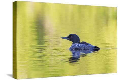 Canada, Quebec, Eastman. Common Loon with Sleeping Chick on Back-Jaynes Gallery-Stretched Canvas Print