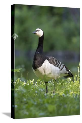 Barnacle Goose Standing in a Green Field. Germany, Bavaria, Munich-Martin Zwick-Stretched Canvas Print