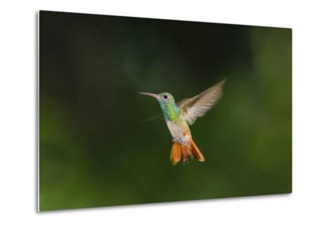 Buff-Bellied Hummingbird in Flight-Larry Ditto-Metal Print
