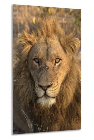 Africa, Botswana, Savuti Game Reserve. Male Lion Close-Up-Jaynes Gallery-Metal Print