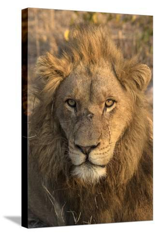 Africa, Botswana, Savuti Game Reserve. Male Lion Close-Up-Jaynes Gallery-Stretched Canvas Print