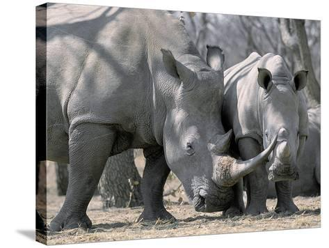 Africa, Namibia. White Rhino Mother and Calf-Jaynes Gallery-Stretched Canvas Print