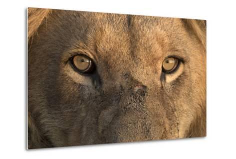 Africa, Namibia. Male Lion, Namibia-Jaynes Gallery-Metal Print