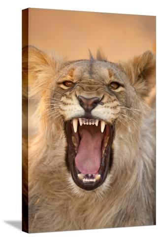 Africa, Namibia. Male Lion Growling-Jaynes Gallery-Stretched Canvas Print