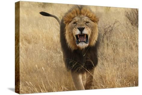 Africa, Namibia. Aggressive Male Lion-Jaynes Gallery-Stretched Canvas Print