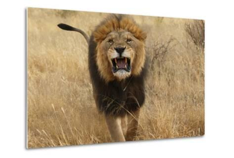 Africa, Namibia. Aggressive Male Lion-Jaynes Gallery-Metal Print