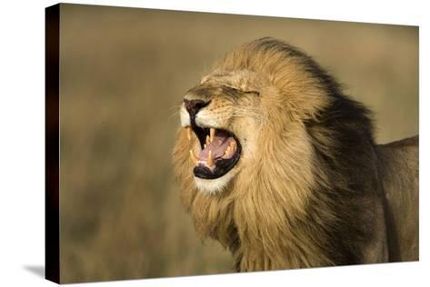 Africa, Kenya, Masai Mara Game Reserve. Male Lion Roaring-Jaynes Gallery-Stretched Canvas Print
