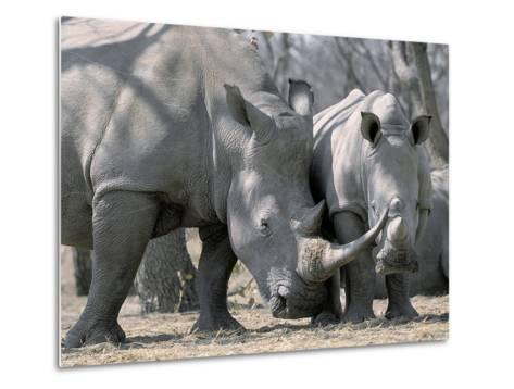 Africa, Namibia. White Rhino Mother and Calf-Jaynes Gallery-Metal Print