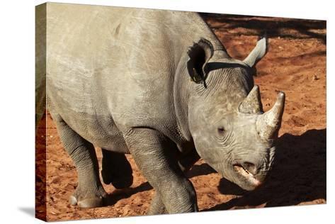 Africa, Zimbabwe, Victoria Falls. Black Rhinoceros-Kymri Wilt-Stretched Canvas Print