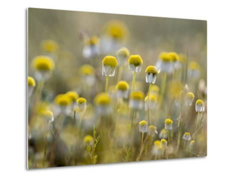 Close Up of Chamomile, Hortobagy National Park in Spring. Hungary-Martin Zwick-Metal Print