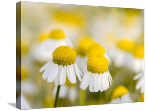 Close Up of Chamomile, Hortobagy National Park in Spring. Hungary-Martin Zwick-Stretched Canvas Print