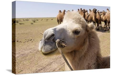 Asia, Western Mongolia, Lake Tolbo, Bactrian Camels-Emily Wilson-Stretched Canvas Print