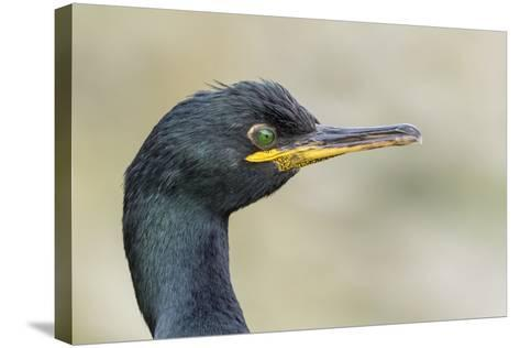 European Shag on the Shetland Islands in Scotland-Martin Zwick-Stretched Canvas Print