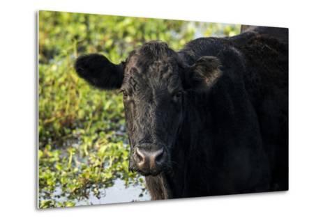 Black Angus Cow, Florida-Maresa Pryor-Metal Print
