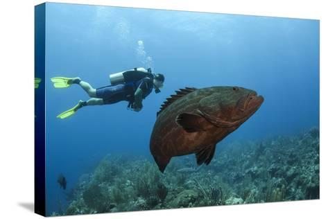 Black Grouper and Diver, Hol Chan Marine Reserve, Belize-Pete Oxford-Stretched Canvas Print
