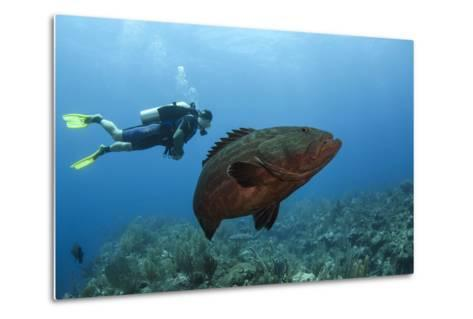 Black Grouper and Diver, Hol Chan Marine Reserve, Belize-Pete Oxford-Metal Print