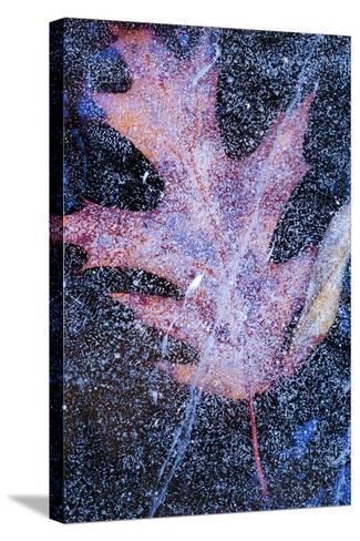 Canada, Quebec, Mount St-Bruno Conservation Park. Red Oak Leaf under Lake Ice-Jaynes Gallery-Stretched Canvas Print