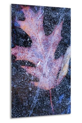 Canada, Quebec, Mount St-Bruno Conservation Park. Red Oak Leaf under Lake Ice-Jaynes Gallery-Metal Print