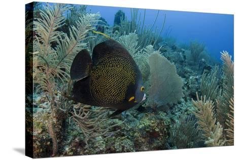 French Angelfish, Hol Chan Marine Reserve, Ambergris Caye, Belize-Pete Oxford-Stretched Canvas Print