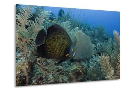 French Angelfish, Hol Chan Marine Reserve, Ambergris Caye, Belize-Pete Oxford-Metal Print