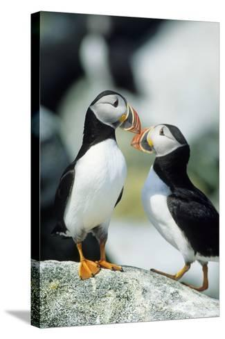 Atlantic Puffins, Machias Seal Island, Maine-Richard and Susan Day-Stretched Canvas Print