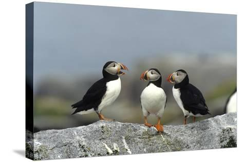 Atlantic Puffins, Machias Seal Island, Canada-Richard and Susan Day-Stretched Canvas Print