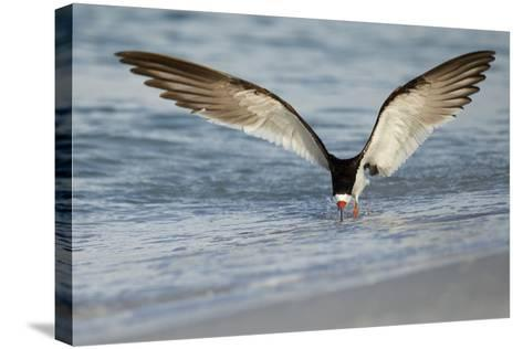 Black Skimmer Coming in for a Landing, Gulf of Mexico, Florida-Maresa Pryor-Stretched Canvas Print