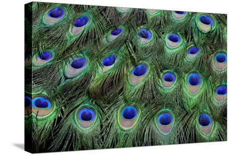 Eye-Spots on Male Peacock Tail Feathers Fanned Out in Colorful Designed Pattern-Darrell Gulin-Stretched Canvas Print