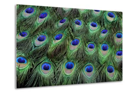 Eye-Spots on Male Peacock Tail Feathers Fanned Out in Colorful Designed Pattern-Darrell Gulin-Metal Print
