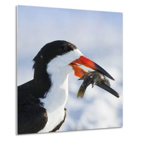 Black Skimmer with Food, Gulf of Mexico, Florida-Maresa Pryor-Metal Print