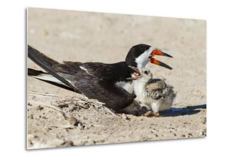 Black Skimmers at Nesting Colony-Larry Ditto-Metal Print