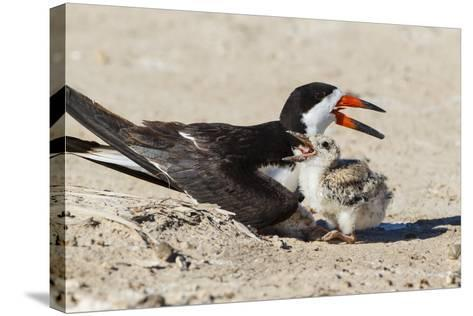 Black Skimmers at Nesting Colony-Larry Ditto-Stretched Canvas Print