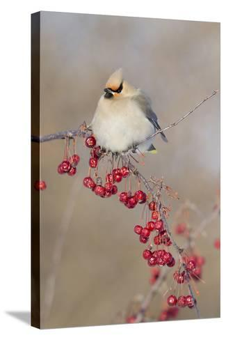 Canada, Quebec. Bohemian Waxwing Bird on Limb-Jaynes Gallery-Stretched Canvas Print