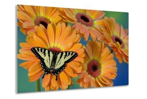 Canadian Tiger Swallowtail Butterfly-Darrell Gulin-Metal Print
