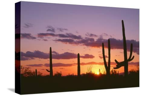 Arizona, Saguaro National Park, Saguaro Cacti are Silhouetted at Sunset in the Tucson Mountains-John Barger-Stretched Canvas Print