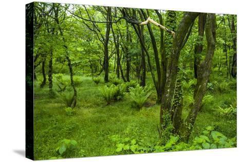 Lush Green Forest in the Hallasan National Forest, Jejudo Island, South Korea-Michael Runkel-Stretched Canvas Print