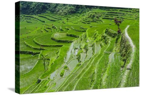 Hapao Rice Terraces, Part of the World Heritage Site Banaue, Luzon, Philippines-Michael Runkel-Stretched Canvas Print