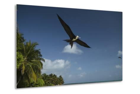 Magnificent Frigatebird, Half Moon Caye, Lighthouse Reef, Atoll, Belize-Pete Oxford-Metal Print