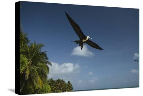 Magnificent Frigatebird, Half Moon Caye, Lighthouse Reef, Atoll, Belize-Pete Oxford-Stretched Canvas Print