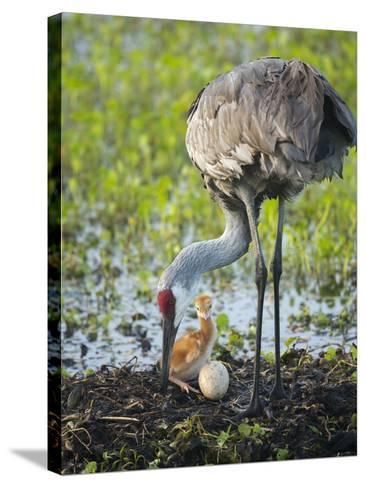 Just Hatched, Sandhill Crane Rotating Second Egg, First Colt, Florida-Maresa Pryor-Stretched Canvas Print