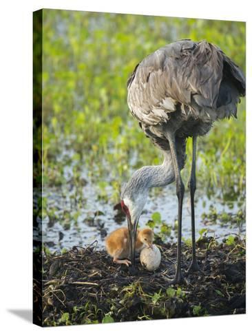 Just Hatched, Sandhill Crane First Colt with Food in Beak, Florida-Maresa Pryor-Stretched Canvas Print