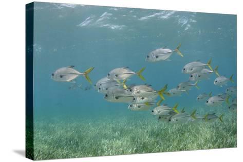 Horse-Eye Jack, Hol Chan Marine Reserve, Belize-Pete Oxford-Stretched Canvas Print