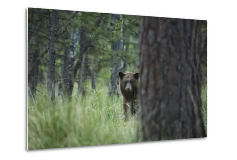 USA, Colorado. A Cinnamon Phase Black Bear in Forest-Jaynes Gallery-Metal Print