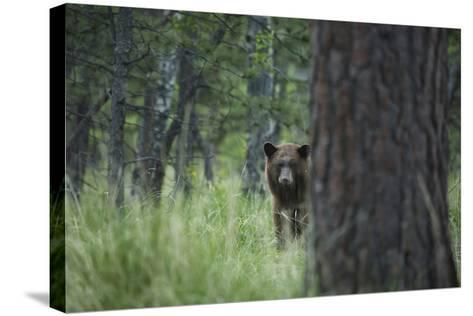 USA, Colorado. A Cinnamon Phase Black Bear in Forest-Jaynes Gallery-Stretched Canvas Print
