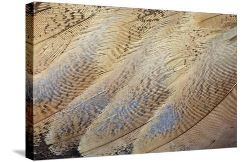 Senegal Bustard Close-Up of Feathers-Darrell Gulin-Stretched Canvas Print