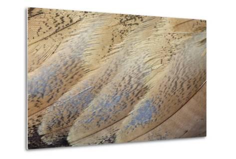 Senegal Bustard Close-Up of Feathers-Darrell Gulin-Metal Print