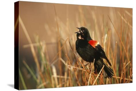 Red-Winged Blackbird Male Singing, Displaying in Wetland, Marion, Il-Richard and Susan Day-Stretched Canvas Print