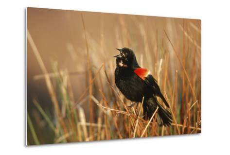 Red-Winged Blackbird Male Singing, Displaying in Wetland, Marion, Il-Richard and Susan Day-Metal Print